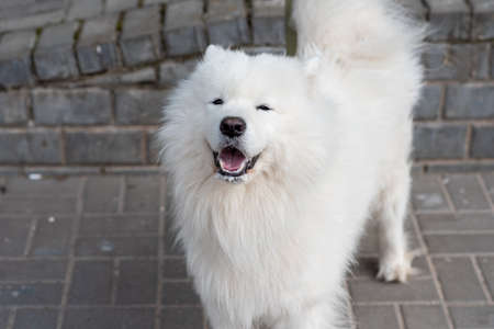 Samoyed dog on the street with signs of rabies. High quality photo
