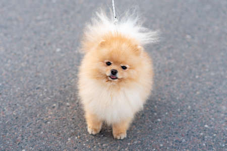Little cute Spitz, on a leash. High quality photo