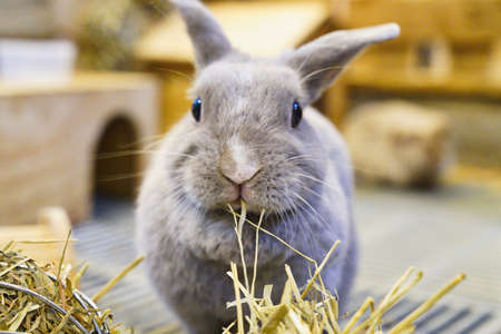 The rabbit chewing on hay and posed for a photo Stock Photo
