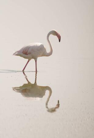carotenoid: Flamingo reflexi�n