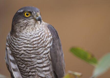 sparrowhawk: Eurasian Sparrowhawk portrait Stock Photo