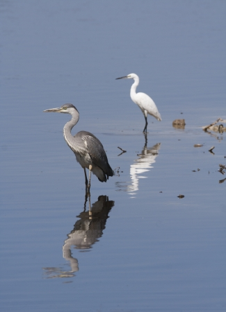 Grey HeronGreat Egret reflection on water photo
