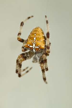 European garden spider portrait photo