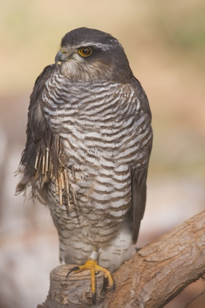 sparrowhawk: Eurasian Sparrowhawk on recovery, wounded by hunt gunfire