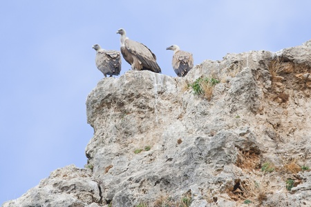 Group of Griffon Vultures perched photo