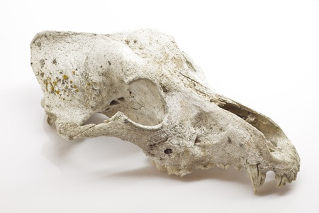 Dog skull on white background photo