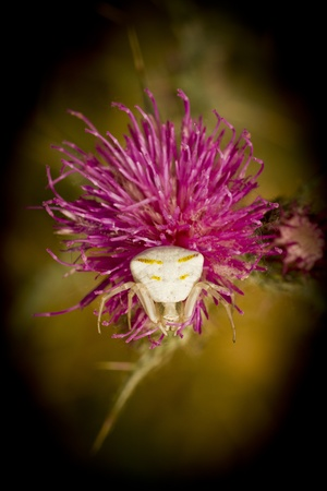 Crab spider on purple thistle and black background Stock Photo - 20621209