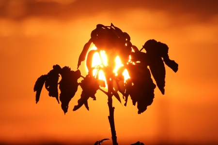 Leaf silhouette on a summer sunset  photo