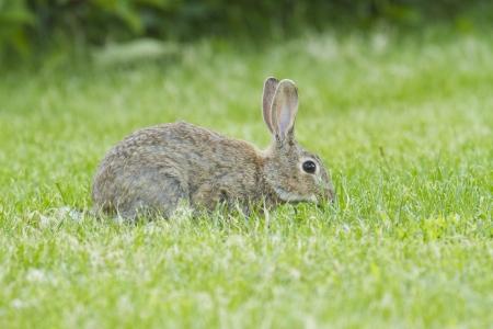 european rabbit: European rabbit on the grass