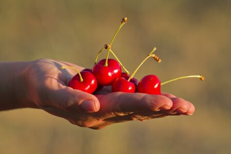 One hand holding a group of cherries photo