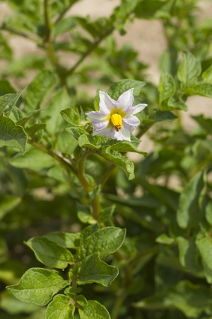 Potato plant with one flower and green background  photo