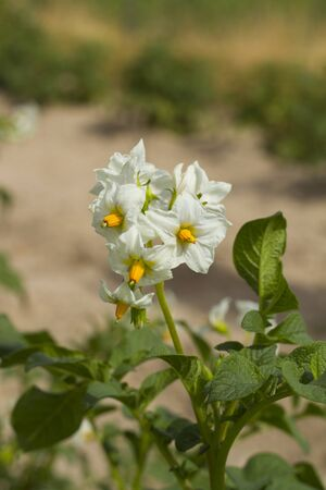 Potato plant with white and orange flowers photo