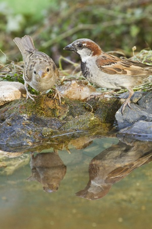 Male and young female of House sparrows on a bird bath photo