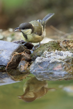 Great tit drinking water on a bird bath photo