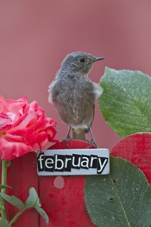 Black Redstart perched on a decorated fence with February letters and motifs  photo