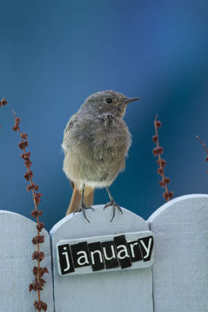 Black Redstart perched on a decorated fence with January letters and motifs  photo