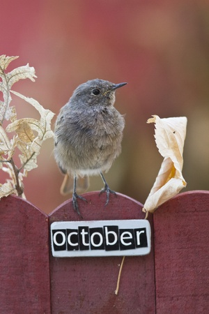 Black Redstart perched on a decorated fence with October letters and motifs