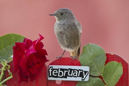 Black Redstart perched on a decorated fence with February letters and motifs, landscape orientation  photo