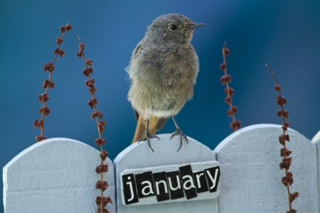 Black Redstart perched on a decorated fence with January letters and motifs, landscape orientation  photo