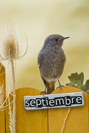 Black Redstart perched on a decorated fence with September motifs and letters on spanish, portrait orientation  photo