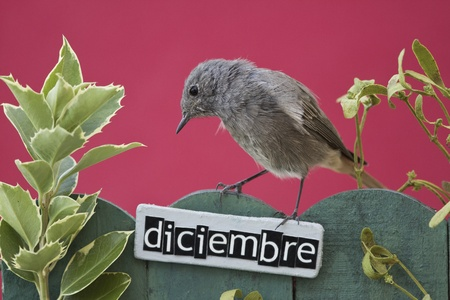 Black Redstart perched on a decorated fence with December motifs and letters on spanish,landscape orientation  photo