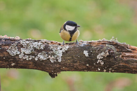 Great tit perched on a tree photo