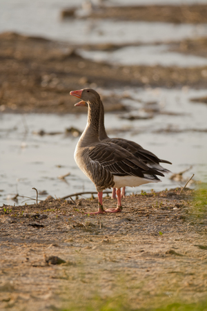 greylag: Two Greylag Goose perched on the ground Stock Photo