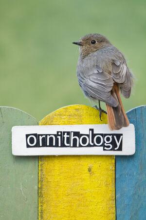 ornithology: Female Black redstart perched on a fence decorated with the word ornithology Stock Photo
