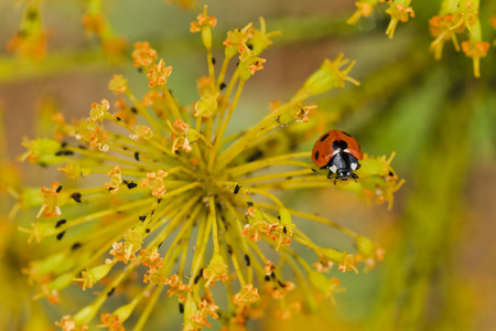 yelllow: Seven-spot ladybug perched on a yelllow flower