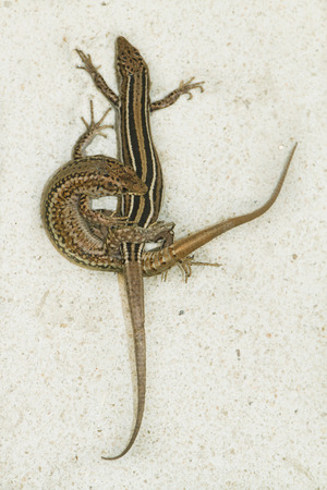 mating colors: Couple of iberian lizard mating Stock Photo