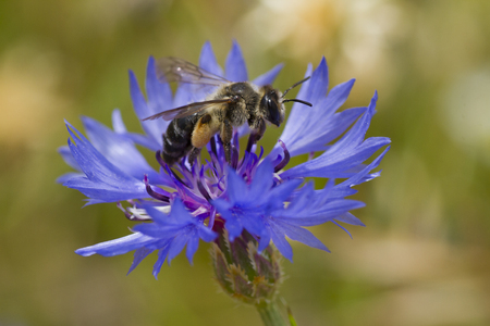 corn flower: Bee feeding on a corn flower