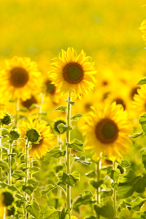 saturated: Saturated Sunflowers field on yellow background Stock Photo