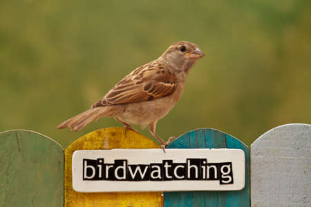birdwatching: Young House Sparrow perched on a fence decorated with the word birdwatching Stock Photo