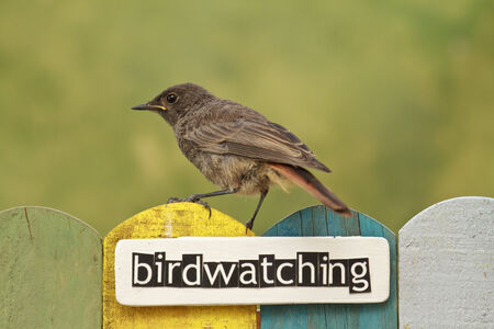 birdwatching: Female Black Redstart perched on a fence decorated with the word birdwatching