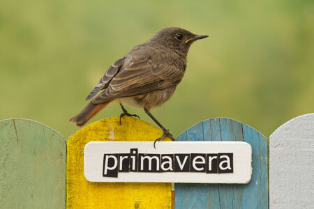 naturaleza: Female Black Redstart perched on a fence decorated with the word spring written on spanish