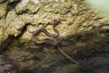 colubridae: Young viperine water snake on a river