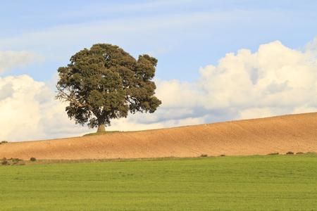 roble arbol: paisaje de primavera con una encina
