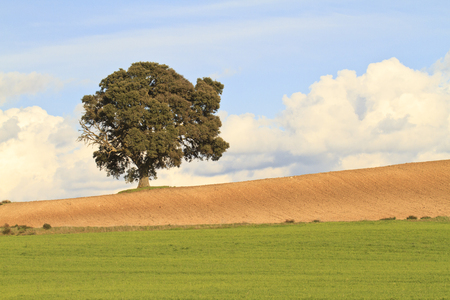 green tree: Spring landscape with an Holm oak Stock Photo