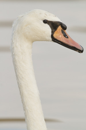 Close up of the head of a Mute swan Stock Photo
