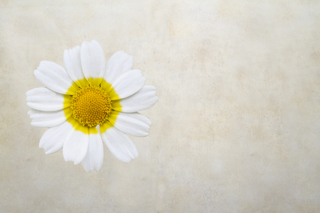 Daisy flower isolated on old paper background