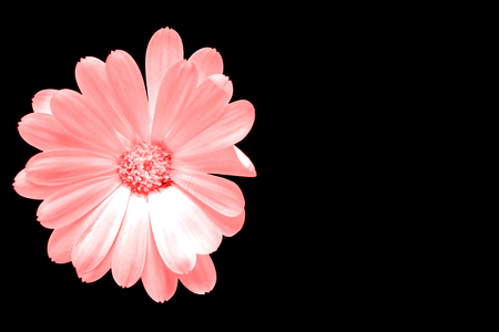 Pink flower isolated on black with copy space on the right Archivio Fotografico