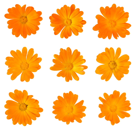 Nine Calendula officinalis flowers isolated on white Archivio Fotografico