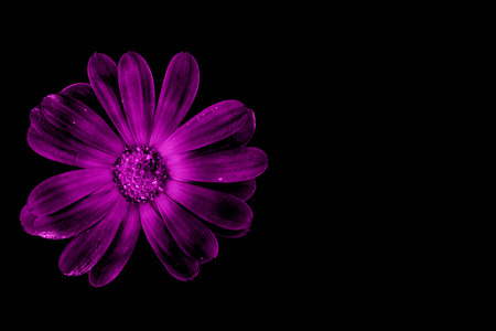 Purple flower isolated on black with copy space on the right Archivio Fotografico