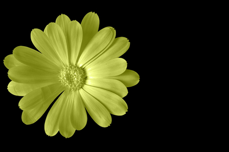 Yellow flower isolated on black with copy space on the right