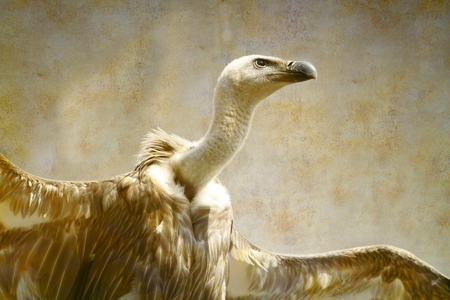 Griffon Vulture portrait on old paper background Archivio Fotografico