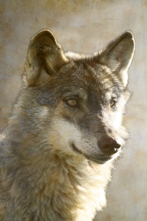 Wolf portrait on old paper background