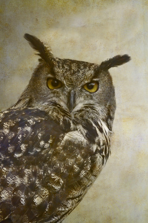 Eurasian eagle-owl portrait on old paper background