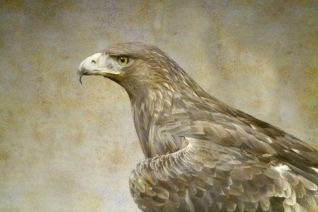 Golden eagle portrait on old paper background
