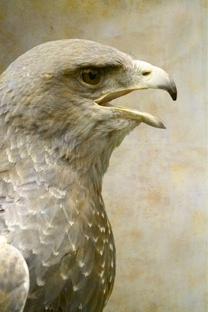 Bald eagle portrait on old paper background