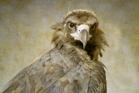 Cinereous Vulture portrait on old paper background